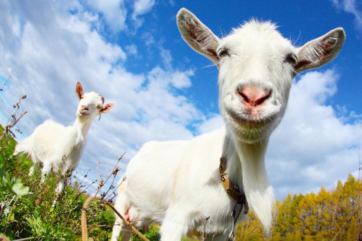 reddit doprovod malé kozy
